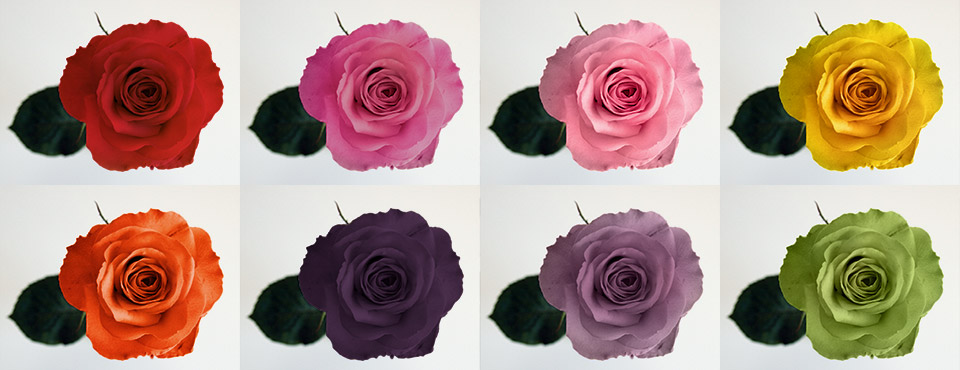 The Meanings Of Rose Colours